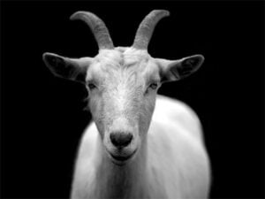 2021 Feng Shui predictions for the Goat