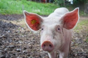 Chinese animal pig predictions for 2021