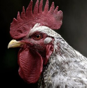 Chinese animal rooster predictions in 2021